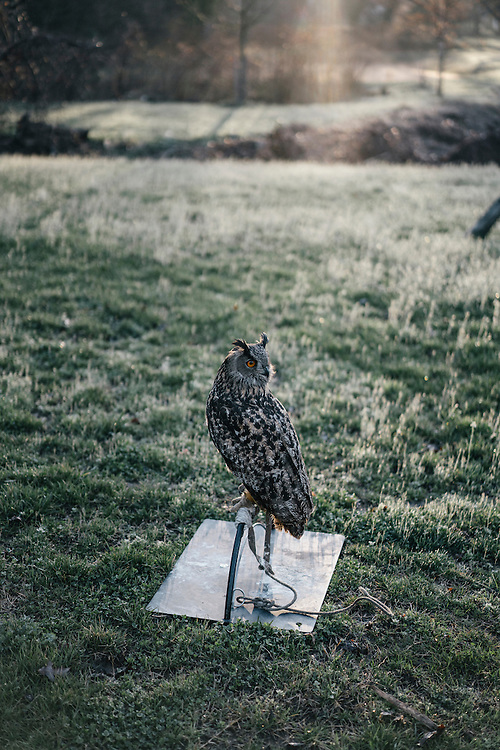 Hoots, a Eurasian eagle owl has been one of Rodney Stotts' birds for more than a dozen years.