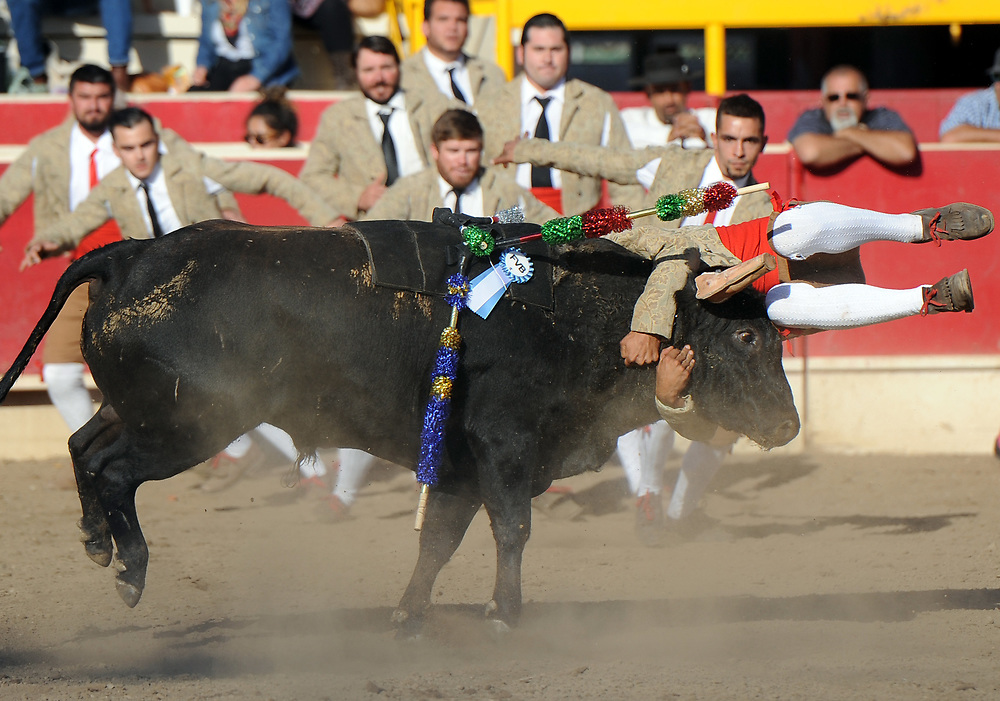 BEA AHBECK/NEWS-SENTINEL<br /> Grupo Forcados Amadores Luso-Americanos' Claudio Pereira holds on to the bull during the fourth grab (their second during the bloodless bullfight during the Our Lady of Fatima Portuguese Festival in Thornton Saturday, Oct. 14, 2017.