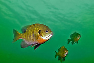 Bluegill, Underwater