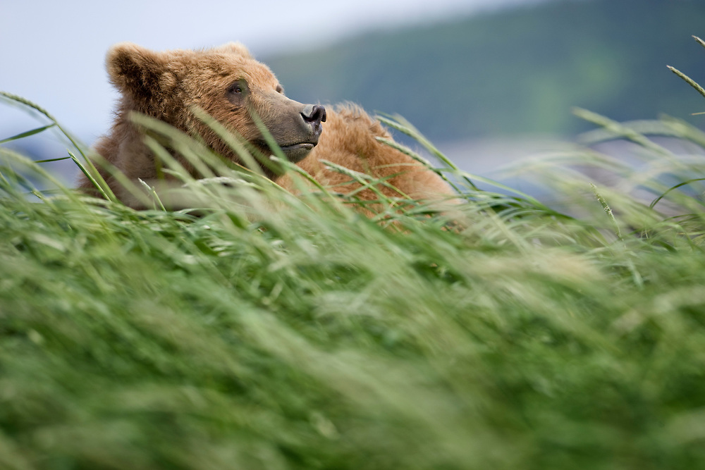USA, Alaska, Katmai National Park, Brown bear (Ursus arctos)  standing in tall grass along Hallo Bay