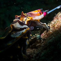 Flamboyant Cuttlefish, Metasepia pfefferi, hunting, Mabul Island, Sabah, Malaysia, Borneo, South China Sea,