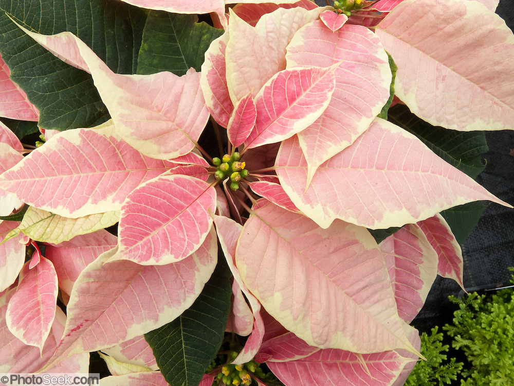 """pink Poinsettia 'Christmas Angel Marbella'. The Poinsettia (Euphorbia pulcherrima) is indigenous to Mexico and Central America. This flowering plant is named after Joel Roberts Poinsett, the first United States Minister to Mexico, who introduced the plant into the US in 1828. The Aztecs used the plant to produce red dye and as an antipyretic medication. Today it is known in Mexico and Guatemala as """"Noche Buena"""", meaning Christmas Eve. In Spain its is known as """"Flor de Pascua"""", meaning Easter Flower. In both Chile and Peru, the plant became known as """"Crown of the Andes"""". Molbak's Garden & Home, Woodinville, Washington."""