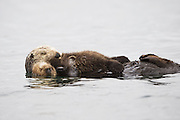 Southern Sea Otter<br /> Enhydra lutris <br /> Mother and young pup (less than one-week-old) sleeping<br /> Monterey Bay, California