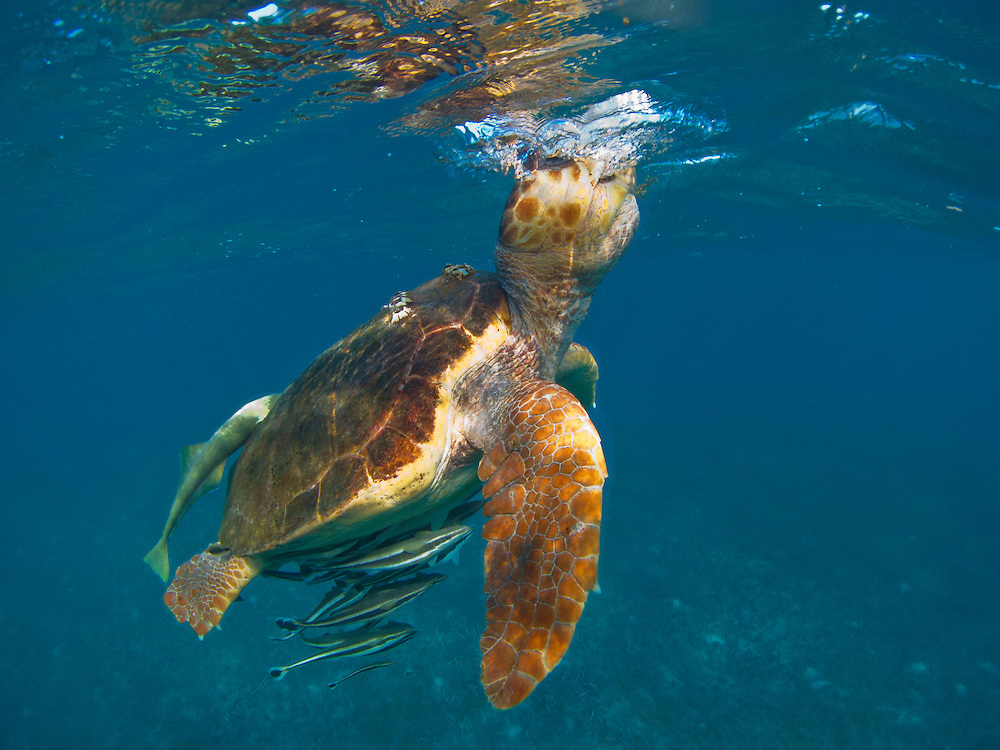 A loggerhead sea turtle surfaces for air, Gladden Spit and Silk Cayes Marine Reserve, Belize.