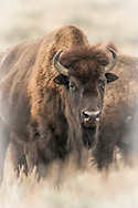 American Bison, Jackson, Wyoming