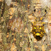 Pentatomidae, Greek pente meaning five and tomos meaning section, are a family of insects belonging to order Hemiptera including some of the stink bugs and shield bugs