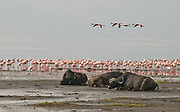African Buffalos resting on the beach of lake Nakuru, Kenya, while Lesser Flamingos are grazing in the background.