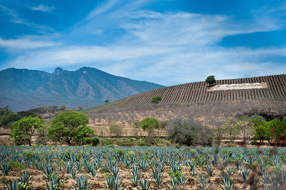 The dormant Tequila Volcano looms behind a field of young blue agaves on property belonging to the Orendain family, one of the oldest and most prominent tequila producing families.