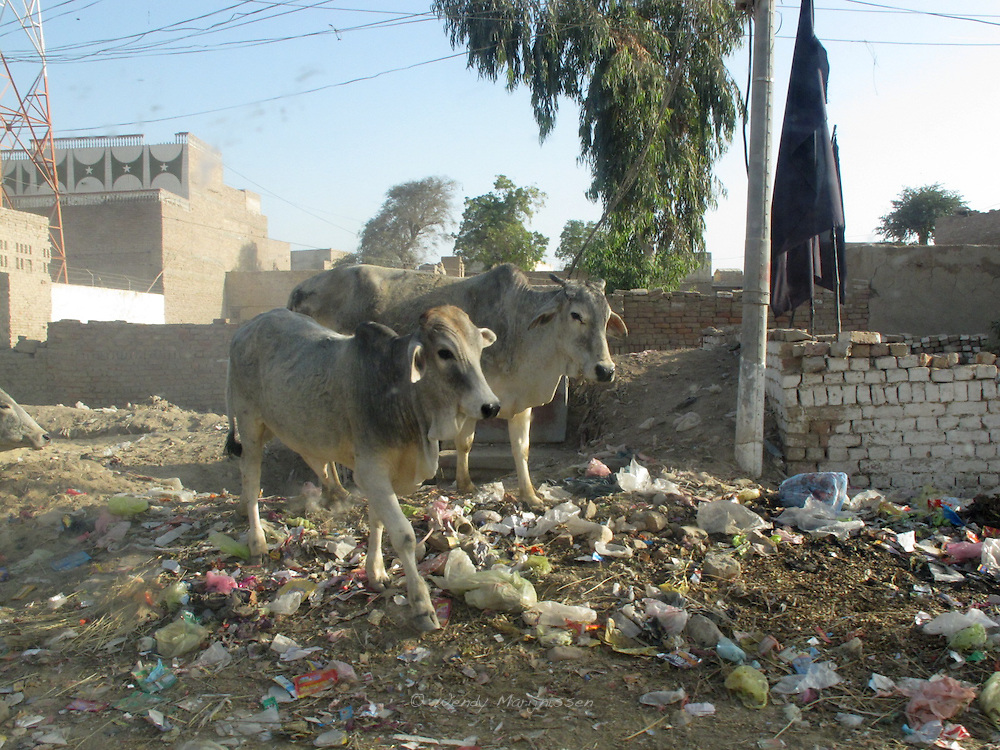 Two cows are walking on the streets in the centre of Jafferabad. Balochistan, Pakistan, 2010