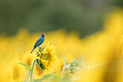 An Indigo bunting perches on a sunflower.