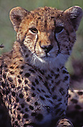 African wildlife, cheetah cub, in Maasai Mara, Kenya, close-up portrait