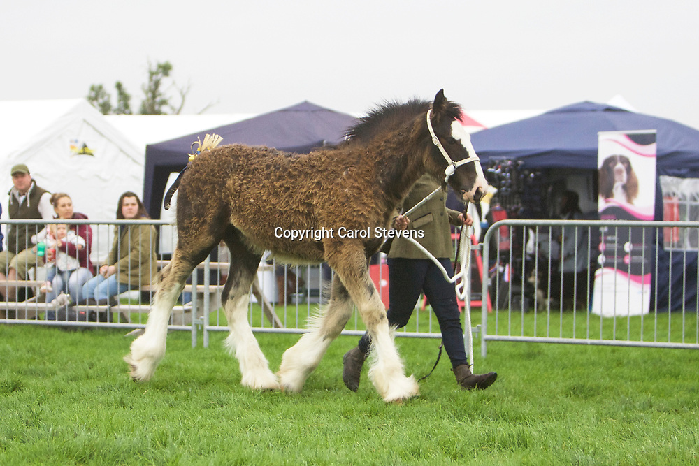 Philip Moss's HILLMOOR ANGELINA with her foal HILLMOOR ARMANI (Winner Foal Class)<br />