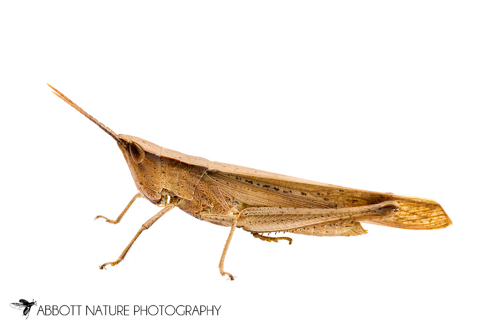 Clip-wing Grasshopper (Metaleptea brevicornis)<br /> United States: Alabama: Tuscaloosa Co.<br /> Tulip Tree Springs off Echola Rd.; Elrod<br /> 24-Jul-2016<br /> J.C. Abbott #2853
