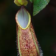 Pitcher plant (Nepenthes tentaculata), Kinabalu Summit Trail, Kinabalu National Park, Borneo, Malaysia.