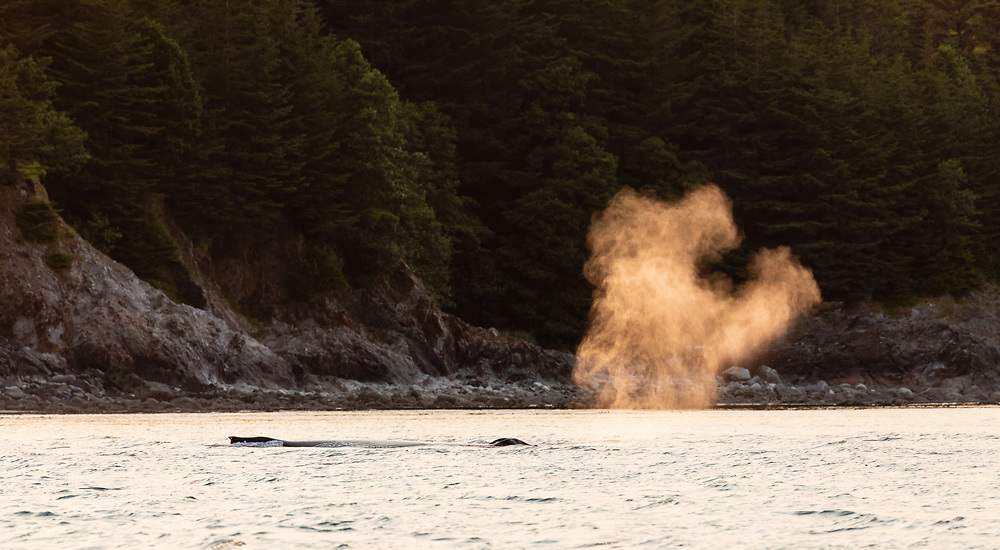 Humpback Whale (Megaptera novaeangliae) spout is illuminated in the evening sun in  Favorite Channel in Southeast Alaska. Summer.