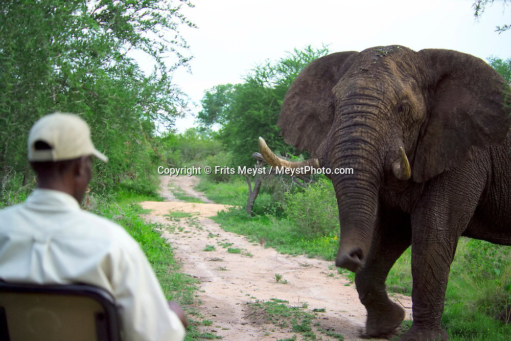 KRUGER NATIONAL PARK, SOUTH AFRICA, DECEMBER 2004. An old cranky elephant bull blocks the road.  Kruger National Park offers good viewing of the 'Big Five' and many other species. Photo by Frits Meyst/Adventure4ever.com