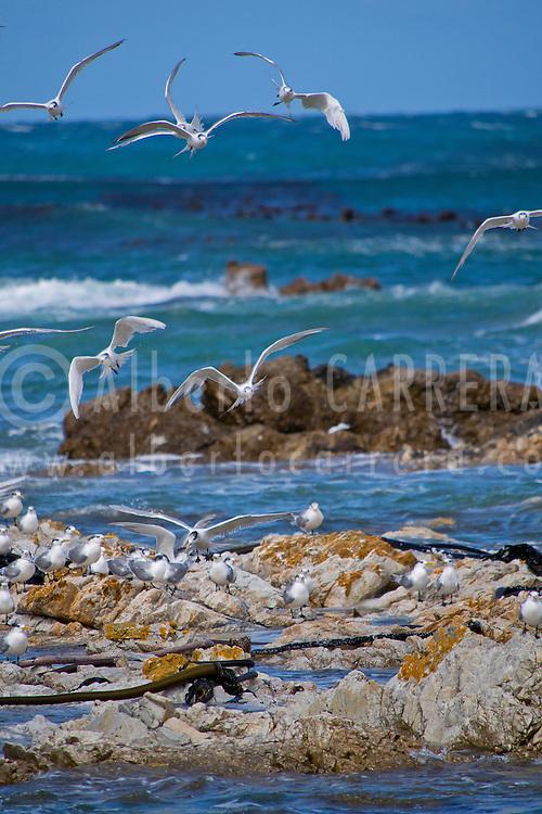 Alberto Carrera, Greater Crested Tern, Thalasseus bergii, Walker Bay Nature Reserve, Gansbaai, Western Cape, Atlantic Ocean, South Africa, Africa