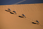 "A group of Gemsbok climbing a massive sand dune in the Central Namib Desert, using their ""rocking horse"" gait."