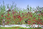 A Japanese apple farm in autumn. The silver sheet on the ground is to reflect the sun onto the apples and produce an even color. These apples are about 12cm in diameter. (5 inches)