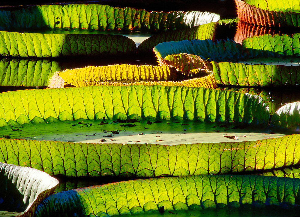 Amazonian water lily pads.  Backlit sunshine shows leaf structure. Genus Victoria Amazonica. Plant family Nympaeaceae