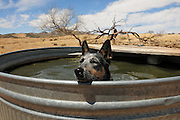 A Blue Heeler named Jazz takes a break from city life with a dip in a cattle tank while hiking in Fish Canyon in the grasslands of the Santa Rita Mountains in the Sonoran Desert north of Sonoita, Arizona, USA.