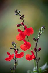Salvia × jamensis 'Royal Bumble' AGM