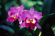 Purple orchid<br />
