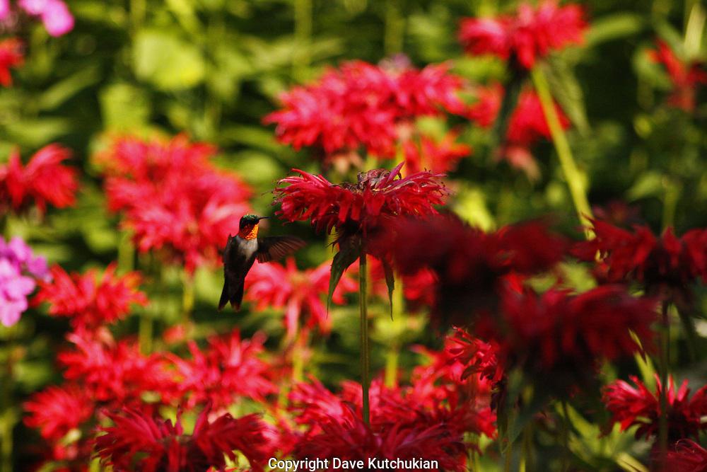 Male humming bird feeding on bee baum