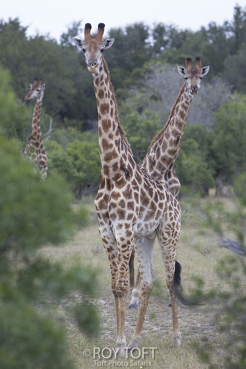 Giraffe (Giraffa camelopardalis), Mala Mala Game Reserve, South Africa