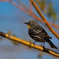 Yellow rumped warbler, Cherry River, Bozeman, Montana.