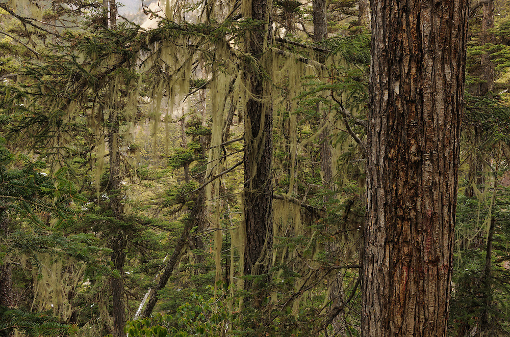 Old growth coniferous forest, Baima snow mountain, Yunnan province, China