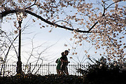 two male runner with cherry blossom in the for ground