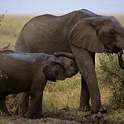 African Elephant, (Loxodonta africana)  Mother browsing and baby nurses Masai Mara Game Reserve. Kenya.