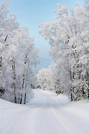 Hoarfrost covered trees line a remote back road in Southcentral Alaska. Winter. Morning.
