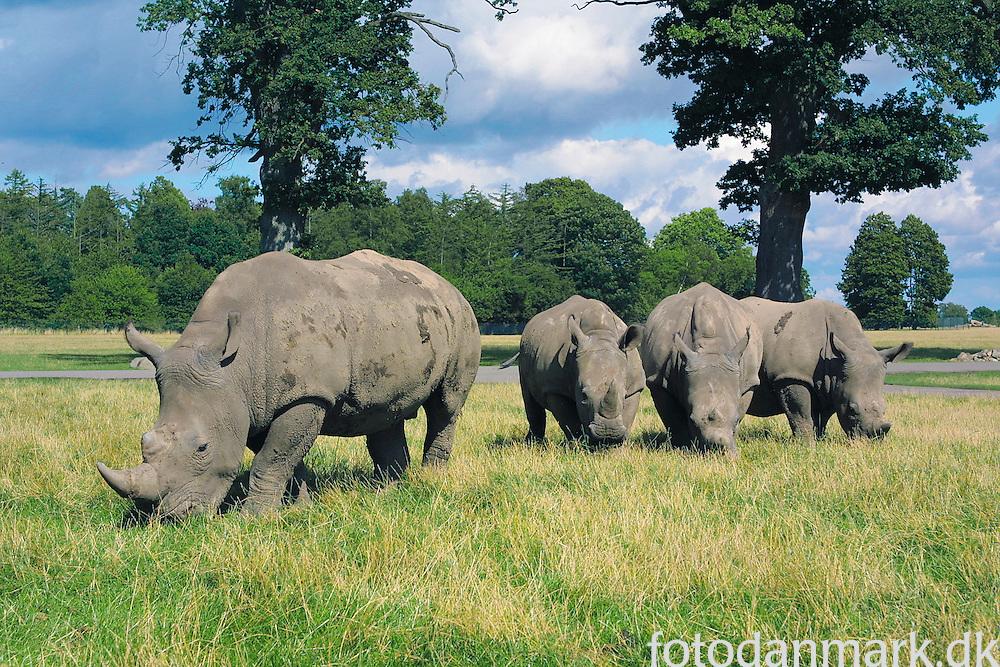 Rhinos on the Savannah - in Denmark actually.