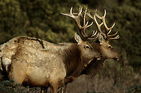 Tule elk (Cervus elaphus nannodes) are an endemic subspecies found only in California.  Oct 2002.