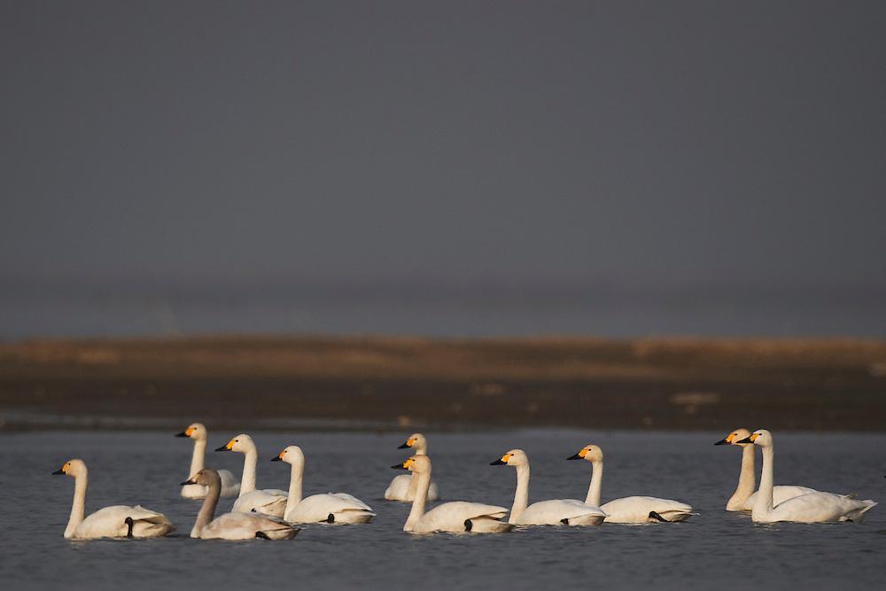 Bewick's or Tundra swan (Cygnus columbianus), wintering at the Poyang Ho Lake, Jiangxi province, China