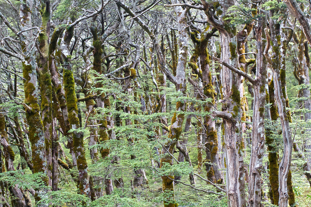 Dense forest of moss-covered trees on the Routeburn Track in Mount Aspiring National Park.