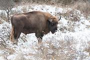 European bison (Bison bonasus) standing in winter dune landscape