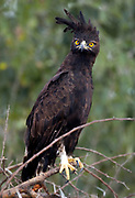 Long-crested Eagle (Lophaetus occipitalis) from Tarangire NP, Tanzania.
