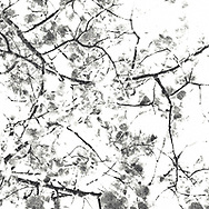 The branches of a Linden tree create interesting intersections. This monochrome abstraction of the branches and leaves of a Linden tree has the mood of a charcoal drawing.