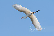 A Great egret in flight across a blue cloudless sky.