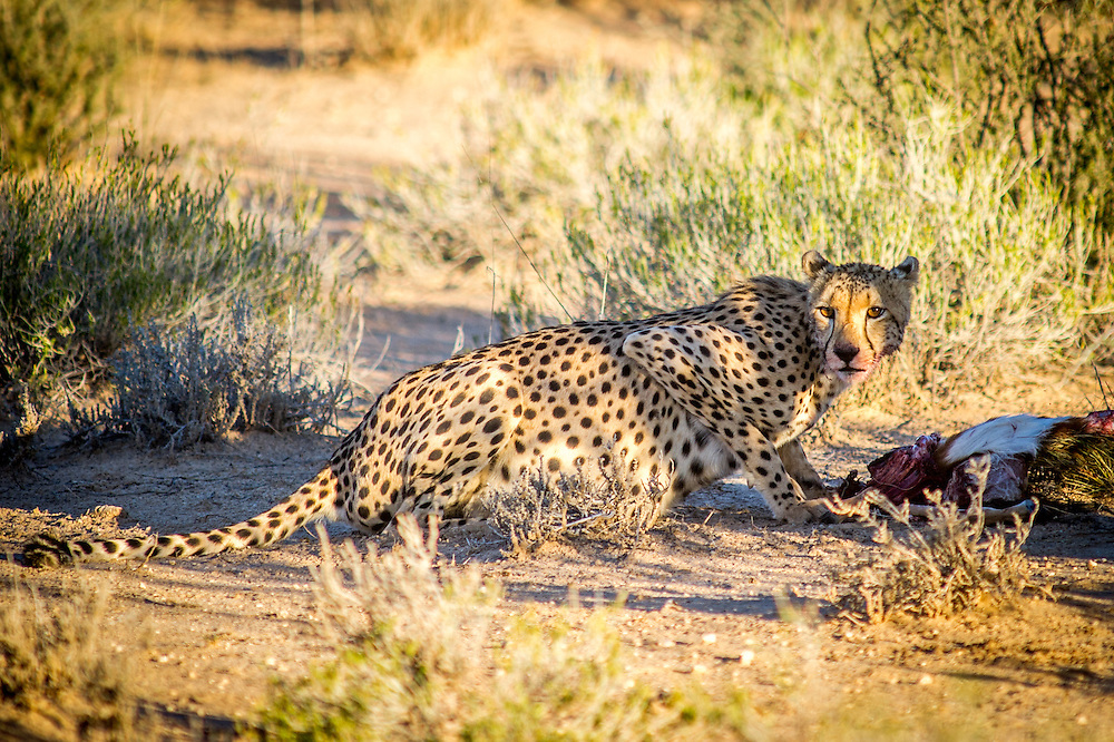 Kgalagadi Transfrontier Park, South Africa - cheetah (Acinonyx jubatus) feeding on springbok kill
