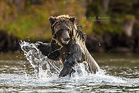 Grizzly bear on a salmon stream in British Columbia, Canada