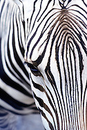 Close up of Zebras Head