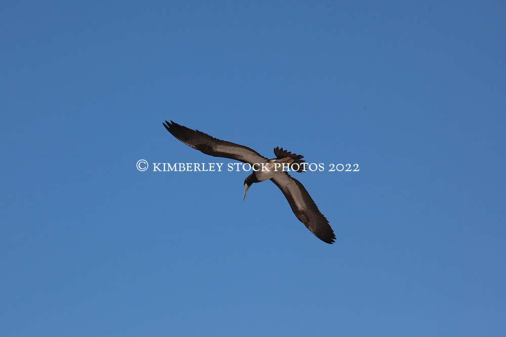 A Brown Booby (Sula leucogaster) in flight over the Lacepede Islands.