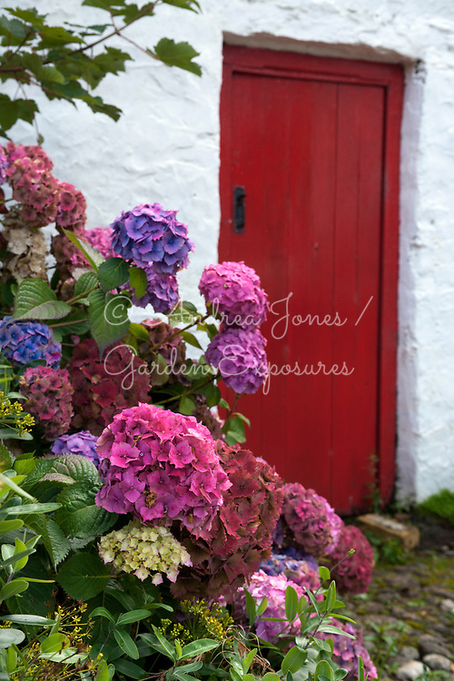 Hydrangea cv by the outhouses at Cluain Na d'Tor (Seaside Nursery Garden), Falcarragh, Co. Donegal, Ireland