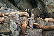 """Steller's Sea Lions jockey for position on a rocky """"haul-out"""" in Kenai Fjords National Park."""