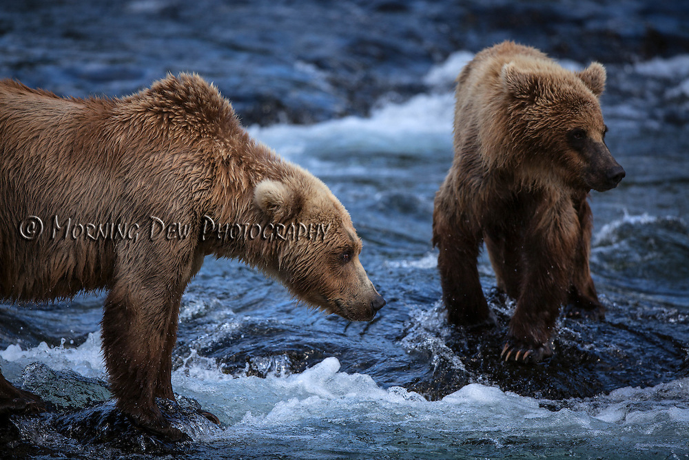 A brown bear, named Holly, and her adopted cub search for salmon in the Riffles at Brooks River.
