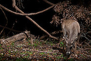 White-tailed Deer (Odocoileus virginianus) buck<br /> TEXAS: Travis Co.<br /> Brackenridge Field Laboratory; Austin<br /> 9-March-2011<br /> J.C. Abbott